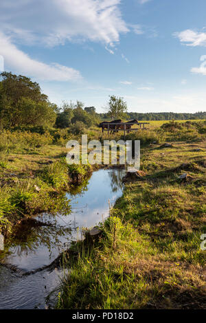 Wild ponies of the New Forest National Park graze on the lush summer grass on a warm early evening. Near Brockenhurst, Hampshire, UK - Stock Photo
