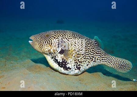 Mappa-Kugelfisch (Arothron mappa) auf dem Meeresgrund, Moalboal, Cebu, Philippinen | Map puffer (Arothron mappa) on sea bed, Moalboal, Cebu, Philippin - Stock Photo