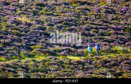 With a hot day ahead, walkers head out early along the Offa's Dyke Path in the Clwydian Range with the purple flowering heather in full bloom, Flintshire, Wales - Stock Photo