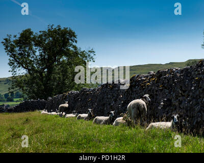Littondale, Yorkshire Dales, UK 5th August 2018. Sheep hide in the shade of a dry stone wall on another hot day in Yorkshire (c) Paul Swinney/Alamy Live News - Stock Photo