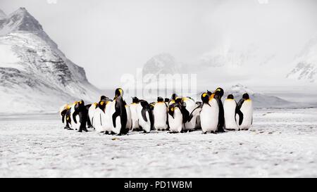 King Penguins on Salisbury Plain Sth Georgia - Stock Photo