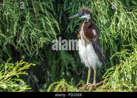 Juvenile Tricolored Heron at St. Augustine Alligator Farm Zoological Park in St. Augustine, Florida. (USA) - Stock Photo