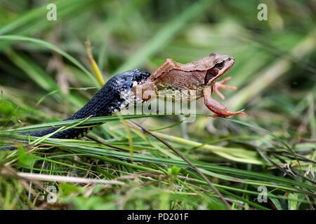 Black Snake eating big frog - Stock Photo