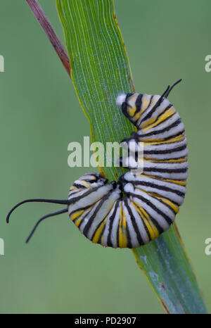 Monarch Butterfly caterpillar (Danaus plexippus), ready to change into chrysalis, North America, by Skip Moody/Dembinsky Photo Assoc - Stock Photo