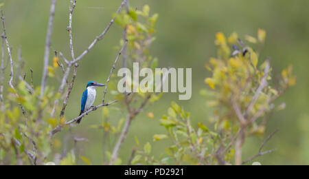 Collared Kingfisher or Todiramphus chloris in the Sunderbans mangrove forest in West Bengal India. - Stock Photo