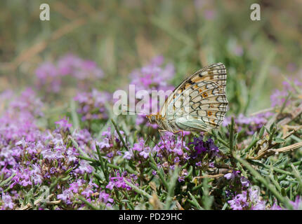 Niobe fritillary butterfly, Argynnis niobe, Sierra Nevada, Granada, Andalusia, Spain. - Stock Photo