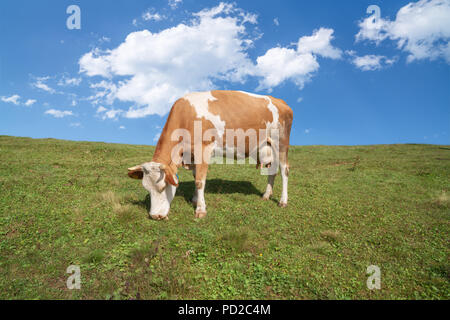 Brown and white cows on a beautiful green alpine meadow in Austria. Mountains on background. Cows in pasture - Stock Photo