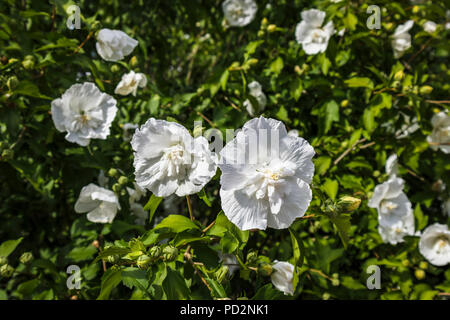 Double flowered white hibiscus syriacus White Chiffon 'Notwoodtwo' in flower at the Royal Horticultural Society (RHS) Gardens, Wisley in summer - Stock Photo