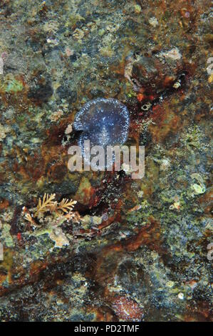 Translucent flatworm on colorful rock face. It looks like decorated plastic tape moving surprisingly fast. Vertical view. - Stock Photo