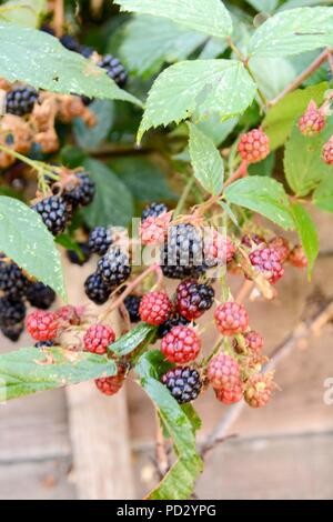 monday 6th august 2018 ,west dulwich ,london uk . blackberry bushes ripening in august - Stock Photo