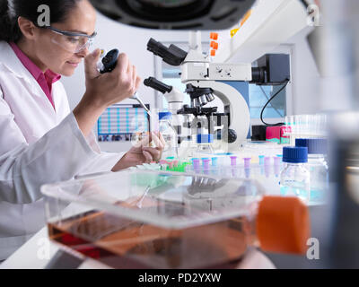 Scientist pipetting sample into vial during experiment, ready for testing with a flask containing cells in the foreground - Stock Photo