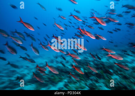 Bright red creole fish, Puntarenas, Costa Rica - Stock Photo