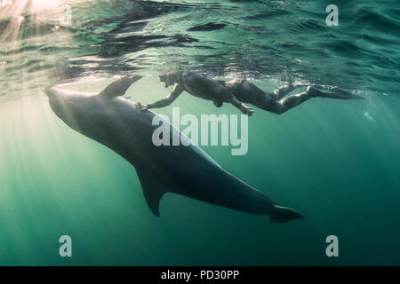 Woman free-diving with Bottlenose dolphin (Tursiops truncates), underwater view, Doolin, Clare, Ireland - Stock Photo