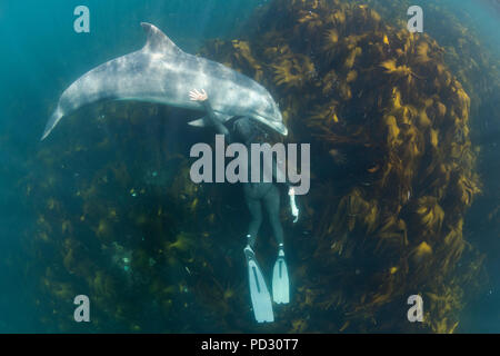 Woman free-diving with Bottlenose dolphin (Tursiops truncates), overhead view, Doolin, Clare, Ireland - Stock Photo