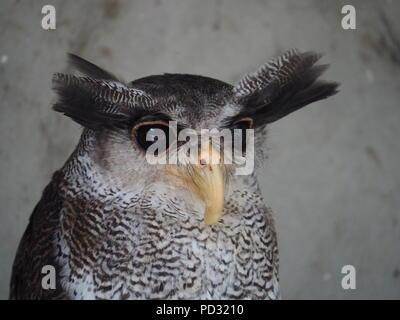 Malay Eagle Owl Portrait - Stock Photo