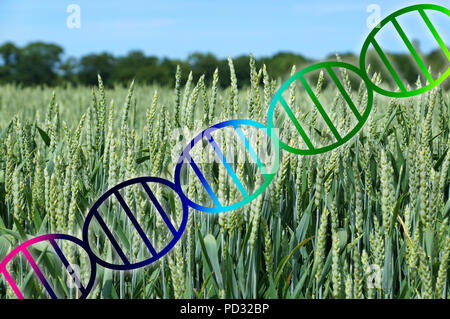 genome editing or genetic engineering concept, dna double helix over wheat crop field - Stock Photo