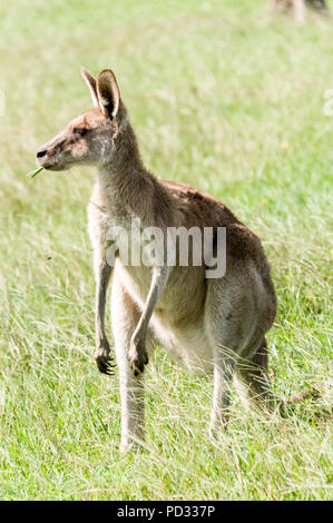 A female Eastern Grey kangaroo  (Macropus giganteus) grazing on open ground  near Caloundra in Queensland, Australia - Stock Photo