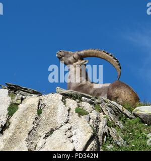 Lying alpine ibex scratching his back with his horns - Stock Photo
