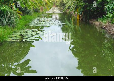 landscape lotus pond in banana farm - Stock Photo