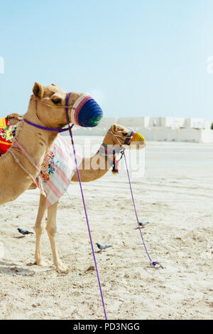 Camels, wearing knitted muzzles to prevent biting or chewing, wait on the Mesaieed desert, also known as Dukhan Heights, Al-Rayyan Municipality, Qatar - Stock Photo