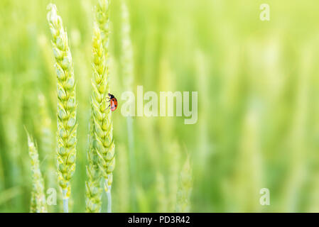 Red Lady bug on juicy fresh ears of young green wheat on  nature in spring ore summer field close-up (macro), with free space for text - Stock Photo