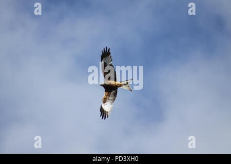Red Kite Milvus milvus flying over Nant yr Arian in Ceredigion, Mid Wales in 2010 - Stock Photo