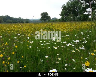 An unimproved wildflower species-rich floodplain meadow at Moor Copse Nature Reserve near Reading, Berkshire, UK. Taken in 2013 - Stock Photo