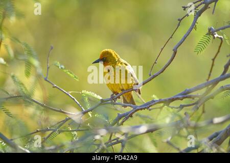 Cape Weaver bird in Camel Thorn Tree - Stock Photo