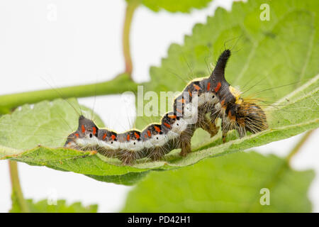 A Grey Dagger moth caterpillar, Acronicta psi, found feeding on bullace leaves photographed in a studio before release. North Dorset England UK GB - Stock Photo