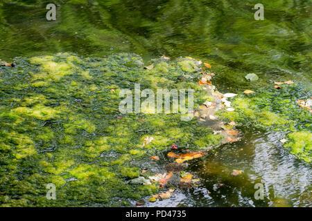 Green algae floating on a lake during the UK heatwave of 2018, Hampshire, England, United Kingdom - Stock Photo