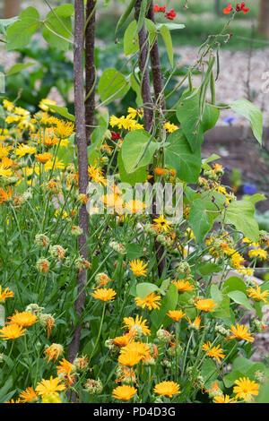 Calendula officinalis. marigold flowers growing underneath runner beans on an allotment. UK - Stock Photo