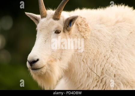 Mountain goat (Oreamnos americanus), Oregon Zoo, Washington Park, Portland, Oregon - Stock Photo