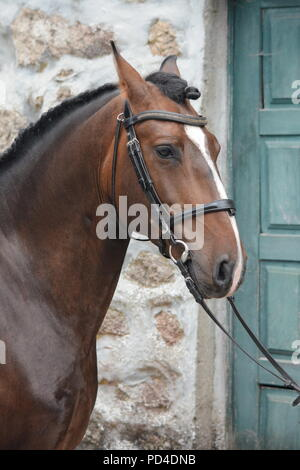 A braided bay Lusitano horse with blaze  in bridle against stone wall and green door - Stock Photo