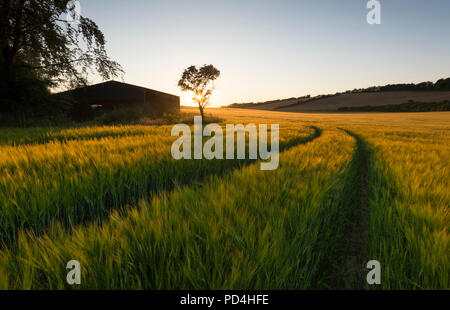 An idyllic countryside scene; tractor lines in the barley fields lead towards a lone tree next to a barn at sunset on the Kent Downs AONB. - Stock Photo