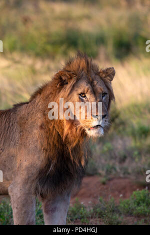 Male Lion Panthera leo lit by the low sun at twilight - Stock Photo
