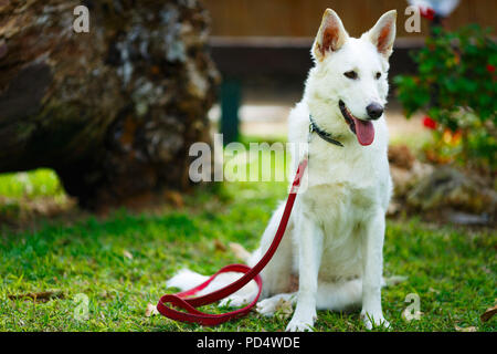 Big dog. Large homeless stray white dog - Stock Photo