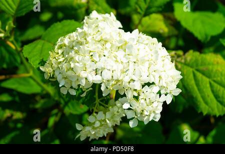 Flower to white hydrangea in garden on background green sheet at solar day - Stock Photo