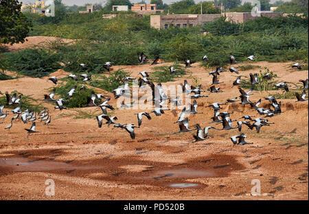 flock of Demoiselle Cranes in Khichan Bird Sanctuary, Anthropoides virgo, spend the winter in Khichan, Rajasthan, India - Stock Photo