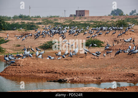 flock of Demoiselle Cranes in Khichan Bird Sanctuary, Anthropoides virgo, spend the winter in Khichan, Rajasthan, India - Stock Photo