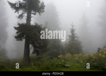 Pine trees, mountain roses (Rhododendron luteum ), wild plants and grass field in fog. The image is captured in the mountain called Sis of Trabzon cit - Stock Photo