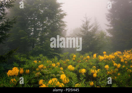 View of pine trees, mountain roses in fog (Rhododendron luteum) The image is captured in the mountain called Sis of Trabzon city located in Black Sea  - Stock Photo