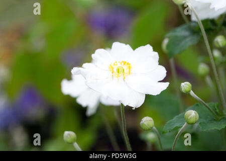 Anemone hupehensis var. japonica. Japanese anemone flower. - Stock Photo