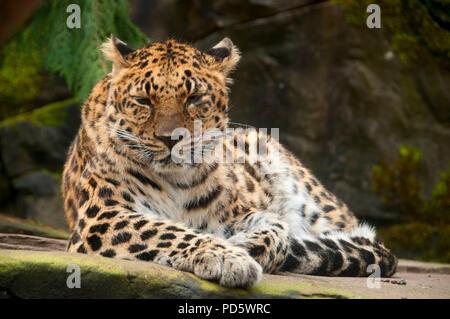 Amur leopard (Panthera pardus), Oregon Zoo, Washington Park, Portland, Oregon - Stock Photo