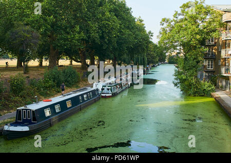 The Hertford Union Canal on the edge of Victoria Park, East London UK, filled with algae, during the summer heatwave of 2018 - Stock Photo