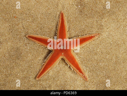 Orange Comb Starfish (Astropecten sp.) aboral surface overview on the sand and under a thin, transparent, layer of clear water. Lagoa de Albufeira bea - Stock Photo
