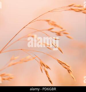 Selective soft focus of beach dry grass, reeds, stalks blowing in the wind at golden sunset light, horizontal, blurred sea on background - Stock Photo