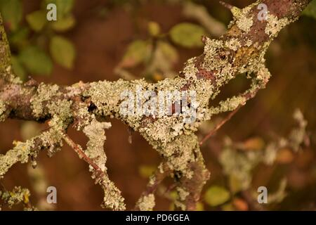 Tree branch covered in dry moss close up selective focus in blurred natural background - Stock Photo