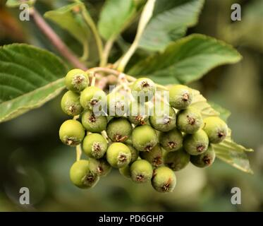 Wild fruits close up selective focus in blurred background - Stock Photo