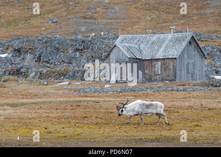 Norway, Svalbard, Spitsbergen. Svalbard reindeer (Rangifer tarandus platyrhynchus) in snow in front of old mining cabin. - Stock Photo