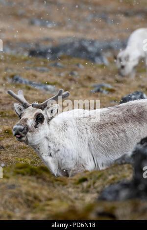 Norway, Svalbard, Spitsbergen. Svalbard reindeer (Rangifer tarandus platyrhynchus) in snow. - Stock Photo